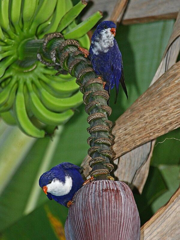 the Blue Lorikeets is the most