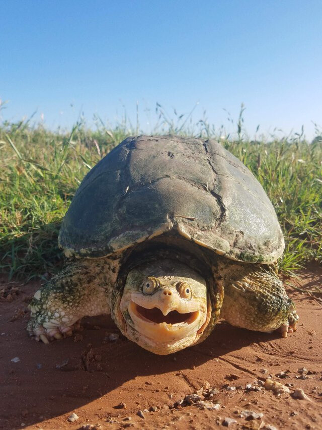 Photogenic snapping Turtle.