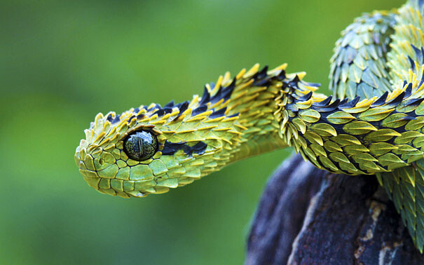 🔥 Bush viper on a branch. Beautiful Scales