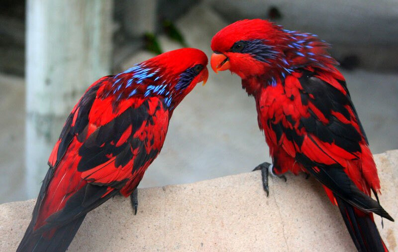 Most of the blue-streaked lory's general plumage is bright red.