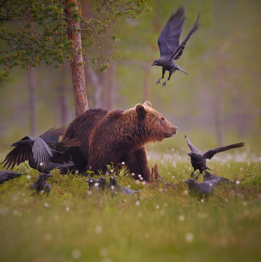 A Brown Bear and a group of ravens