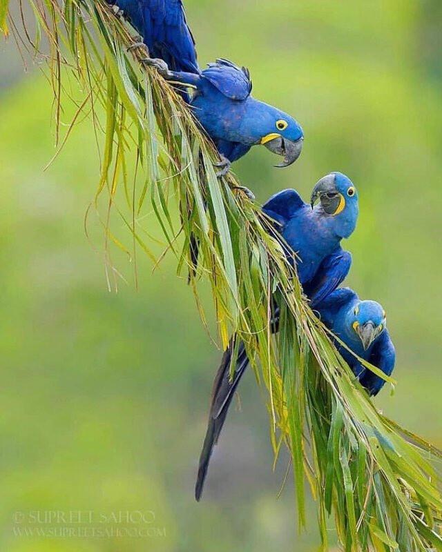 🔥 The Blue Hyacinth Macaw 🔥