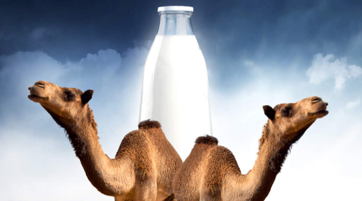 GCC Camel Dairy Market Analysis, Recent Trends and Regional Growth Forecast by 2025