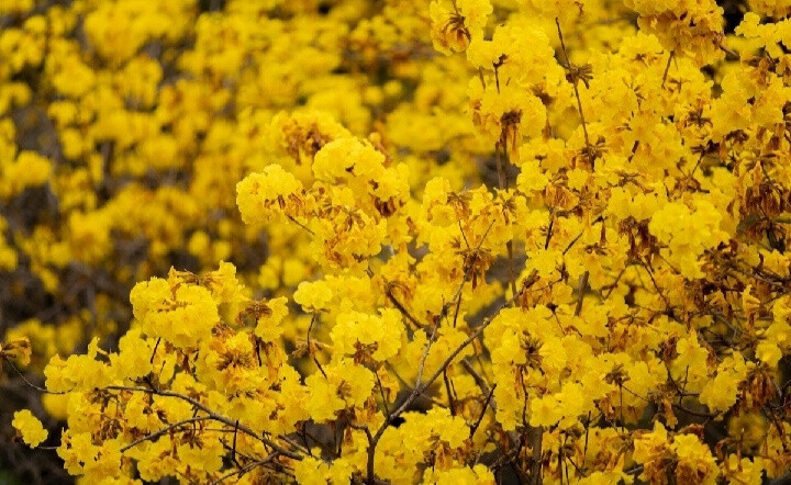 Yellow flowers, so beautiful, very fragrant