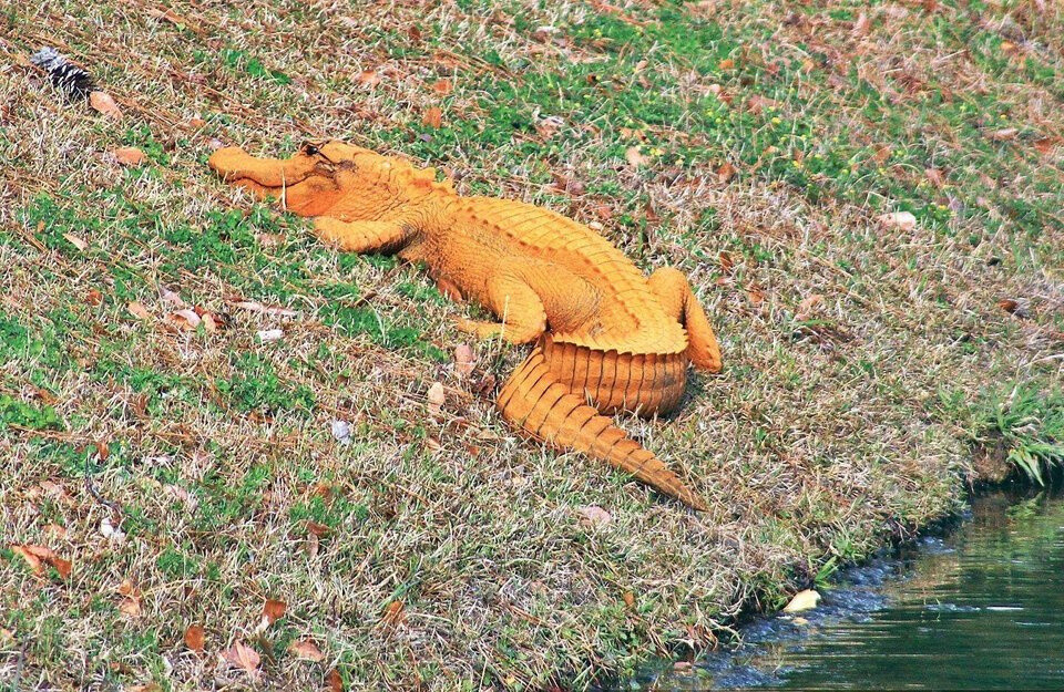 🔥 Orange Alligator