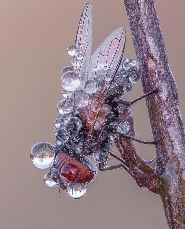A fly covered in dew