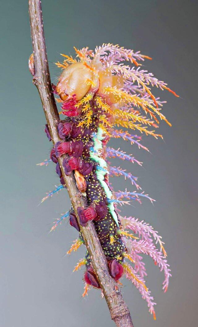 Saturniidae shaman moth caterpillar