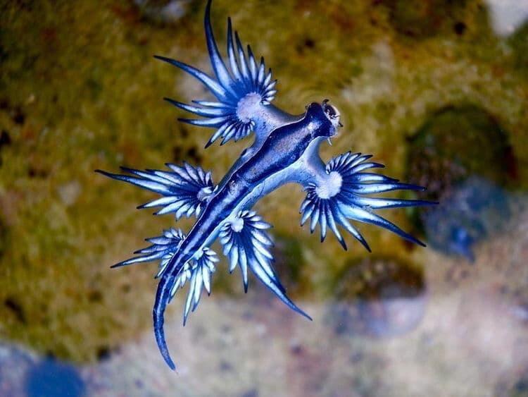 🔥 Glaucus Atlanticus, a stunning type of sea slug 🔥