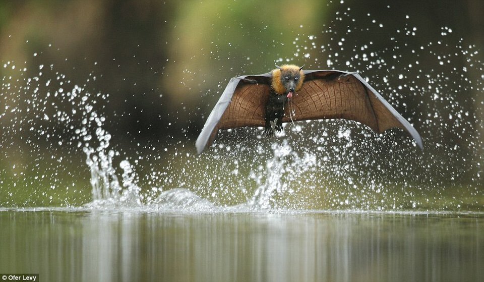 🔥 A Flying Fox splashes the water's surface